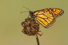 Monarch or Milkweed, Danaus plexippus