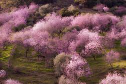 Almond trees in blossom,  Prunus dulcis