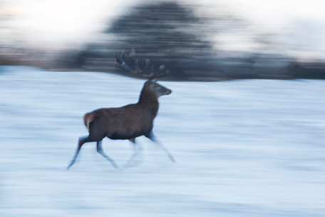 Stag on the run