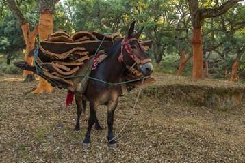 Cork mule traditional regalia
