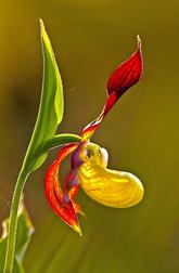 Lady's-slipper orchid bloom, Cypripedium calceolus