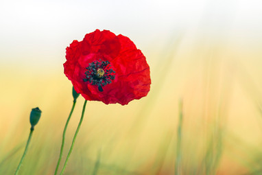 Wix Poppy bloom.jpg