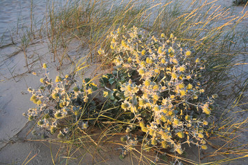 Sea holly, Eryngium maritimum