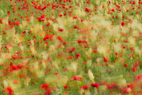 Poppies & Toadflax blowing in the wind