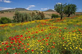 Traditional andalucian wildflower meadow