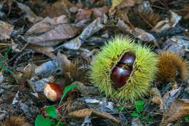 Wix Spanish chestnut.jpg