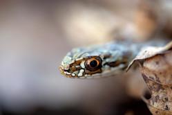 Juvenile Montpellier snake, Malpolon monspessulanus