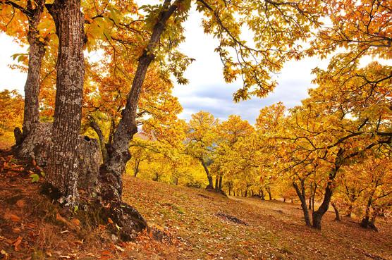 Castanea sativa forest edge