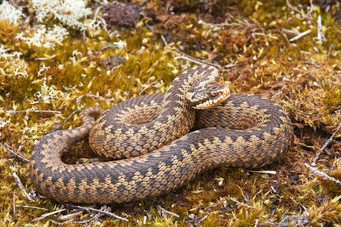 Female adder basking, Vipera berus