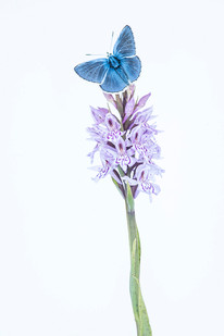 Male Common blue butterfly, Polyommatus icarus resting on a Common spotted-orchid, Dactylorhiza fuchsii
