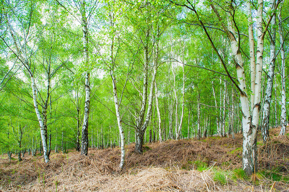 Spring birches