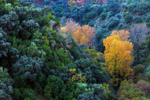 White poplar trees displaying autumnal colour - Valle del Genal