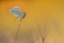 Male Provence Chalkhill Blue, Lysandra hispana