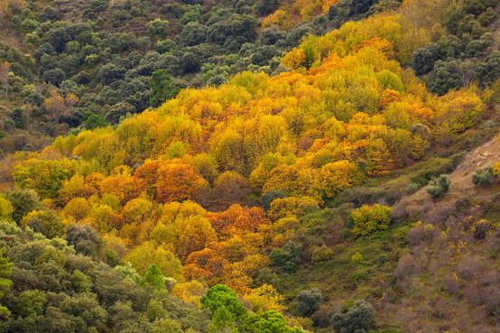 Autumnal Castanea sativa