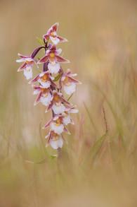 Marsh helleborine, Epipactis palustris
