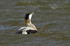 Eider duck, Somateria mollissima calling