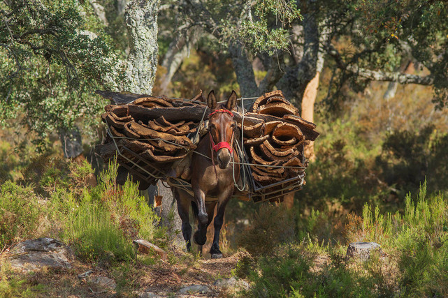Cork mule deep in the cork forest
