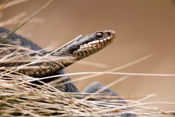 Female adder, Viperus berus