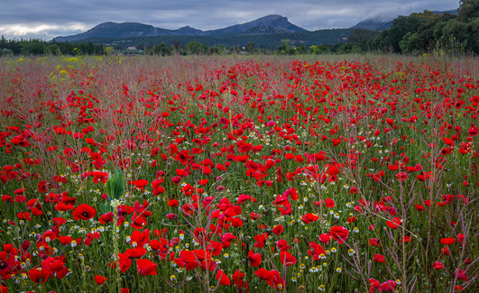 Red poppy (Amapola), Papaver rhoeas meadow