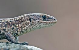 Viviparous lizard, Zootoca vivipara