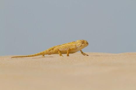 Mediterranean chameleon, Chamaeleo chamaeleon