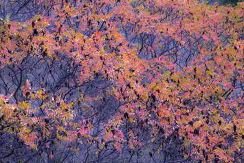 Autumnal foliage of the Sumac, Rhus sp.