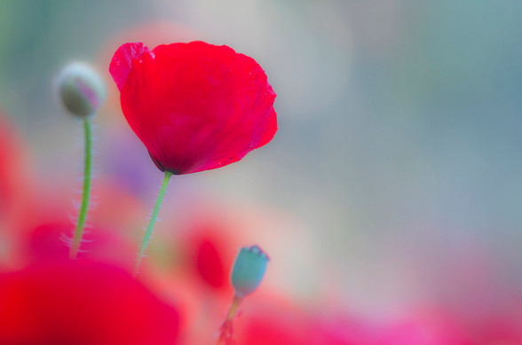 Wic poppy bloom.jpg