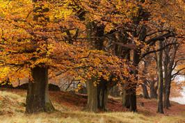 Beech trees in autumn