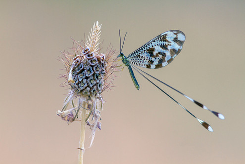 Threadwing antlion, Nemoptera bipennis