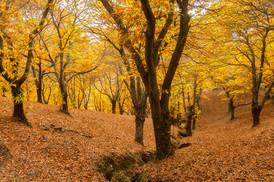 Autumnal Castanea, Castanea sativa