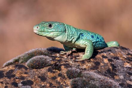 Ocellated lizard, Timon lepidus