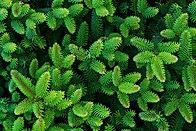 Abies Pinsapo foliage.jpg