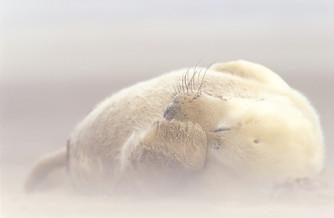Grey seal pup in sandstorm, Halichoerus grypus