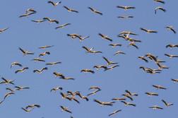White stork migrating, Ciconia ciconia