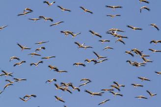 White storks, Ciconia ciconia