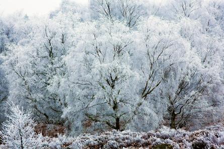 Hoarfrosted Silver birches, Betula pendula