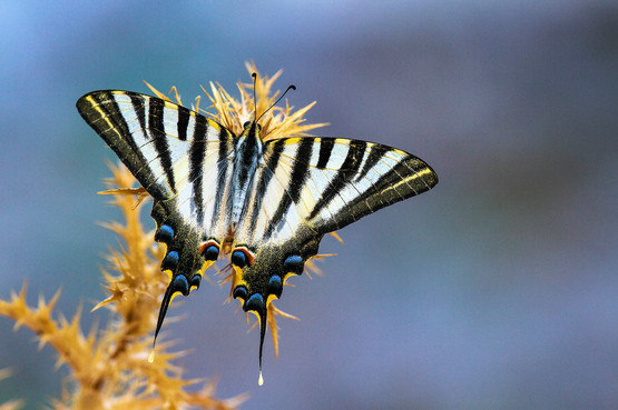 Scare swallowtail.jpg