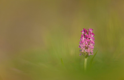 Early-marsh orchid, Dactylorhiza incarnata