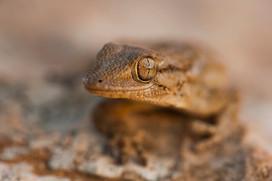 Moorish gecko, Tarentola mauritanica