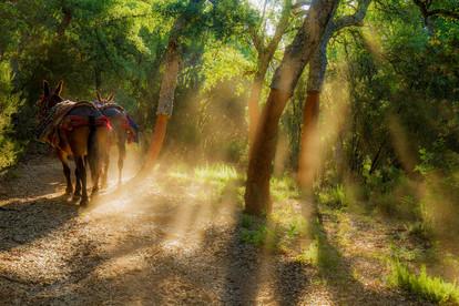 Cork mules in cork forest glade