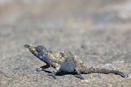 Rosette Nosed Pygmy Chameleon, Rhampholeon spinosum
