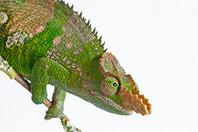 Western Usambara Two Horned chameleon, Bradypodion fischeri multituberculatum