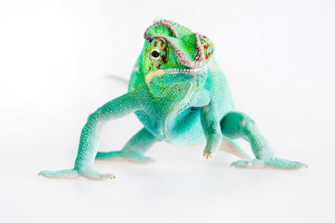 Male Panther chameleon, Furcifer pardalis (Nosy be locale)