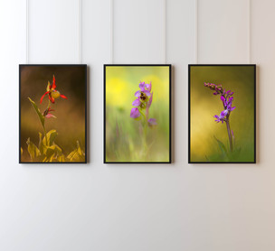 Wild Orchid Collection