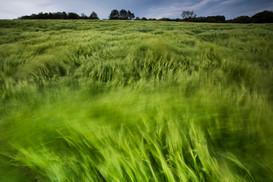 Barley crop blowing in the wind