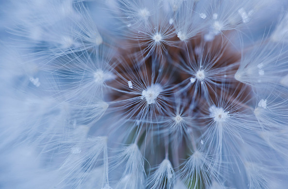 Dandelion clock and ice crystals