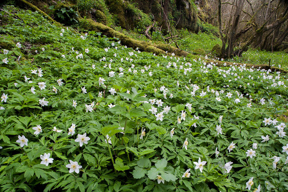 Carpet of Wood Anemone, Anemone nemorosa