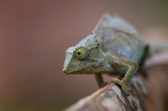 Green Pygmy Chameleon, Rhampholeon viridis