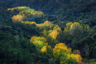 White poplar trees in autumn