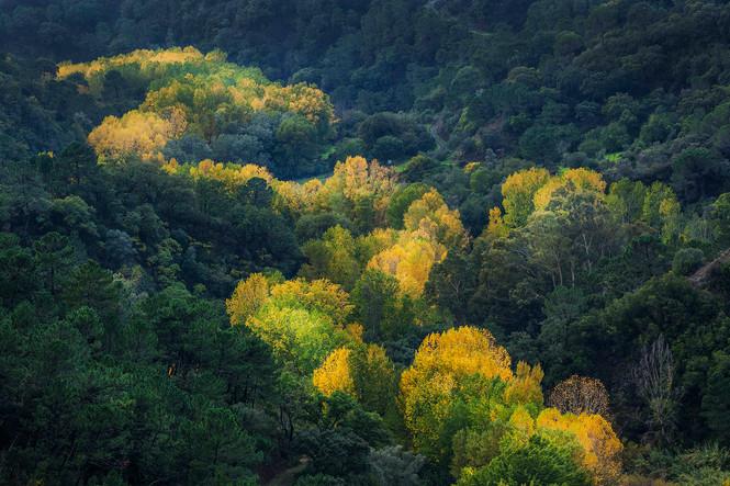 White poplar, Populus alba autumnal foliage